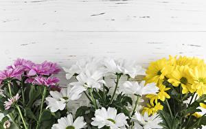 Обои Хризантемы Доски Цветы