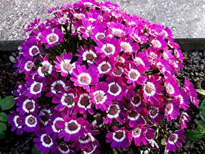Фотография Цинерария Много Крупным планом Фиолетовые Цветы