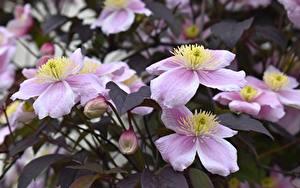 Фотография Клематис Боке Розовый Бутон Цветы