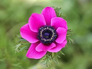 Фотографии Крупным планом Ветреница Размытый фон Розовый Цветы