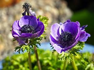 Картинка Крупным планом Анемоны Размытый фон Фиолетовый Цветы