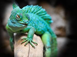 Обои Вблизи Размытый фон Взгляд Ящерица Лапы Basilisk lizard Животные
