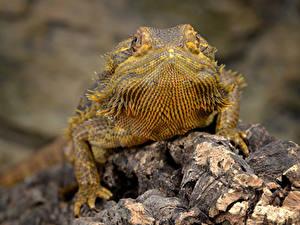 Картинка Вблизи Ящерицы Боке Bearded Dragon, Pogona животное