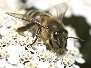 Фотография Вблизи Пчелы животное