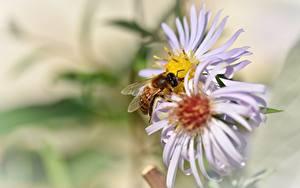 Картинки Вблизи Пчелы Боке цветок