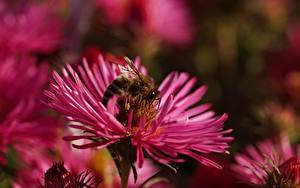 Фотографии Вблизи Пчелы Насекомое животное