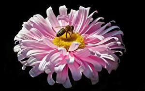 Фото Вблизи Пчелы Насекомые Астры Черный фон Розовый Цветы