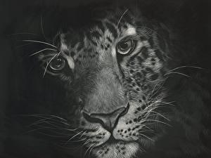 Картинки Вблизи Большие кошки Леопарды Морда Смотрят Черно белое Черный фон Усы Вибриссы животное