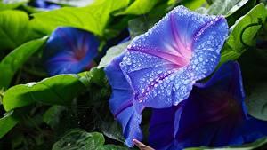 Обои Вблизи Вьюнки Капля Голубая цветок
