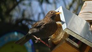 Фото Вблизи Птица blackbird животное