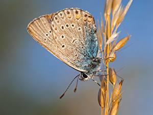 Обои Крупным планом Бабочки Насекомые Размытый фон Колоски Polyommatus Icarus, Common blue, Female Животные