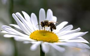 Фотографии Вблизи Ромашка Пчелы Насекомое Боке цветок