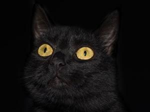 Фотография Крупным планом Кошки Глаза Голова Черный На черном фоне Взгляд Животные
