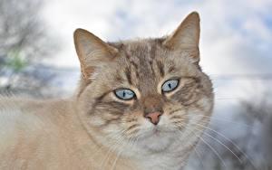 Фото Вблизи Коты Головы Смотрит Усы Вибриссы Морды животное