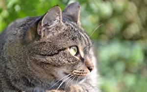 Картинки Вблизи Коты Головы Усы Вибриссы Смотрит Морды животное