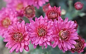 Фотография Вблизи Хризантемы Розовая цветок