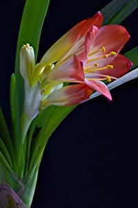 Фото Крупным планом На черном фоне Clivia Цветы