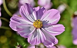 Картинки Вблизи Космея Боке Розовая цветок