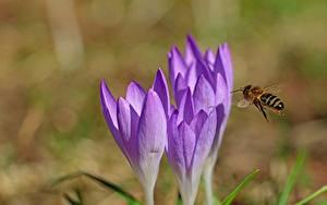 Фотография Крупным планом Крокусы Пчелы Размытый фон животное