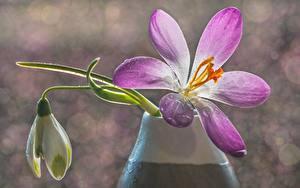Фотографии Вблизи Шафран Боке Капля цветок