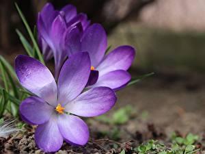 Фотографии Крупным планом Крокусы Боке Фиолетовый цветок