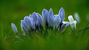Фото Вблизи Шафран Траве Боке цветок