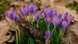 Обои Вблизи Шафран Фиолетовая цветок
