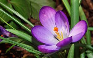 Картинка Вблизи Шафран Фиолетовая цветок