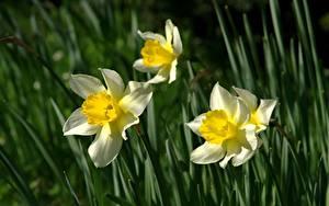 Обои для рабочего стола Крупным планом Нарциссы Размытый фон Цветы