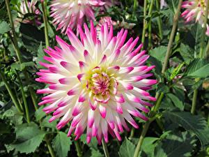 Картинки Вблизи Георгины цветок