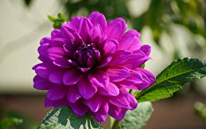 Фотография Крупным планом Георгины Размытый фон Фиолетовые Цветы