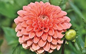 Фотографии Вблизи Георгины Розовых цветок
