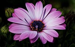 Картинки Крупным планом Фиолетовый Dimorphotheca цветок