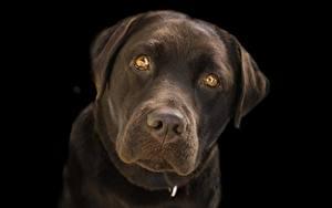 Картинки Крупным планом Собака Черный фон Морда Смотрит Ретривера Лабрадор-ретривер животное