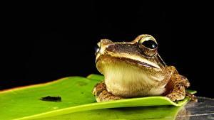 Фотография Крупным планом Лягушка животное