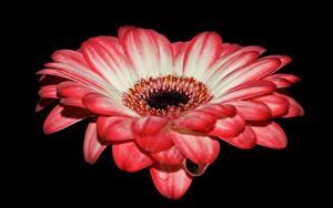 Фото Крупным планом Гербера Черный фон Розовые цветок