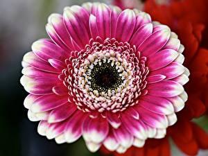 Фотография Вблизи Гербера Боке цветок