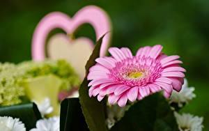 Картинки Вблизи Герберы Размытый фон Розовый Цветы