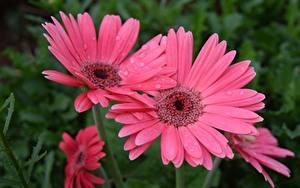 Картинка Вблизи Гербера Капля Розовая цветок