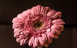 Обои Вблизи Гербера Капли Розовый цветок