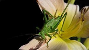 Фотографии Вблизи Кузнечики Зеленая Tettigonia Viridissima female, Great green bush-cricket животное