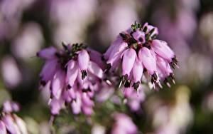 Фото Вблизи Боке Розовые Heather Calluna Цветы