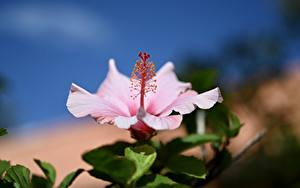 Фотография Вблизи Гибискусы Боке Розовая цветок