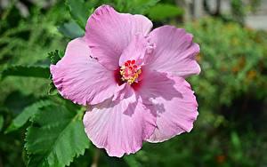 Картинки Крупным планом Гибискусы Розовый Цветы