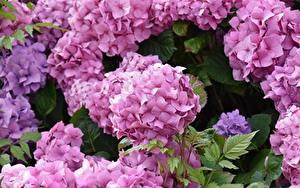 Картинка Крупным планом Гортензия Розовых Цветы