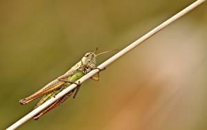 Картинка Вблизи Насекомые Кузнечики Боке Desert locust животное