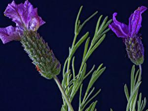 Картинка Крупным планом Лаванда Вдвоем Фиолетовые цветок
