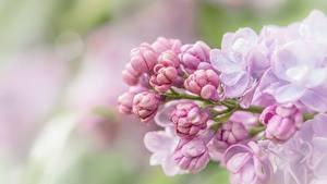Картинка Вблизи Сирень Розовая цветок