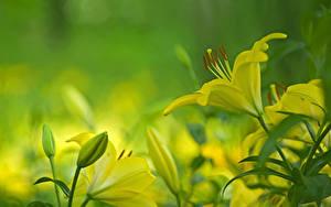 Фотографии Вблизи Лилия Бутон цветок