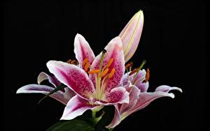 Фотография Вблизи Лилия Черный фон Цветы